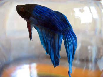 Adding A New Pet How To Feed A Betta Fish How To Have