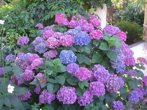 At Least Six Hydrangea Plants Grace Our Homes Southern Property In The Heart Of West Tennessee Town Their Blooms Are Always Striking And A Favorite