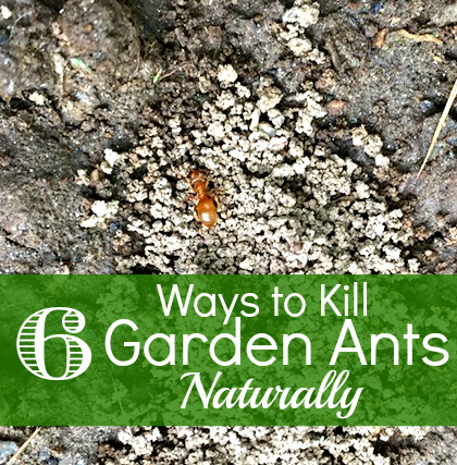 How To Get Rid Of Ants In The Garden How To Have It All